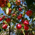 大池農園りんごの木