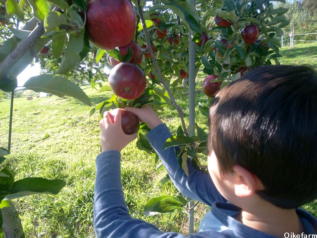 大池農園りんご狩り
