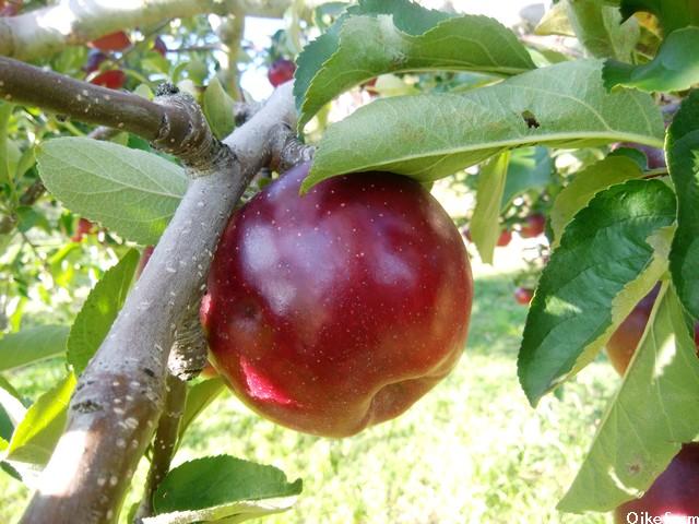 大池農園りんご