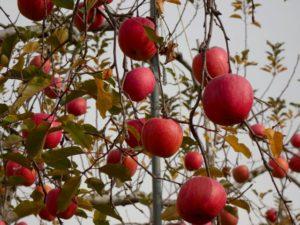 長沼は今_りんご狩りイベント