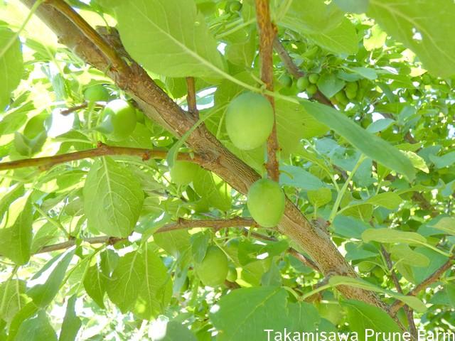 高見澤プルーン園プルーンの木3