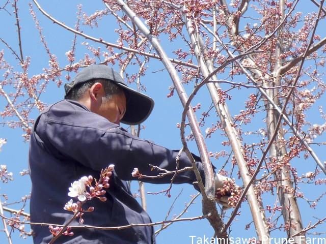 高見澤プルーン園スモモ花粉採取2