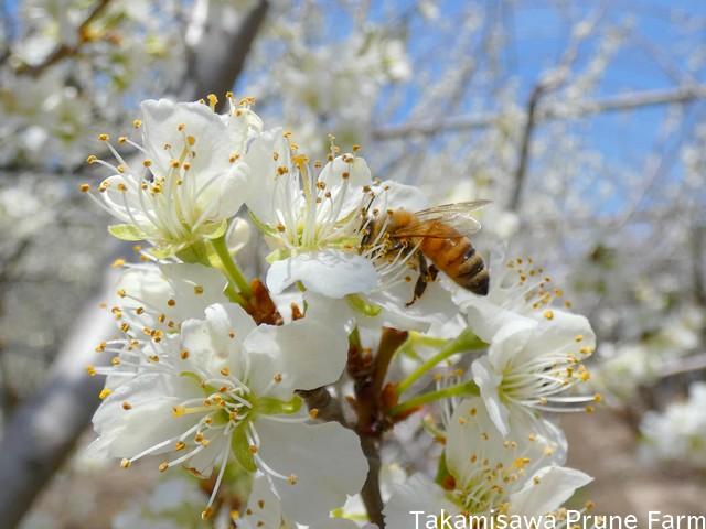 高見澤プルーン園花とミツバチ