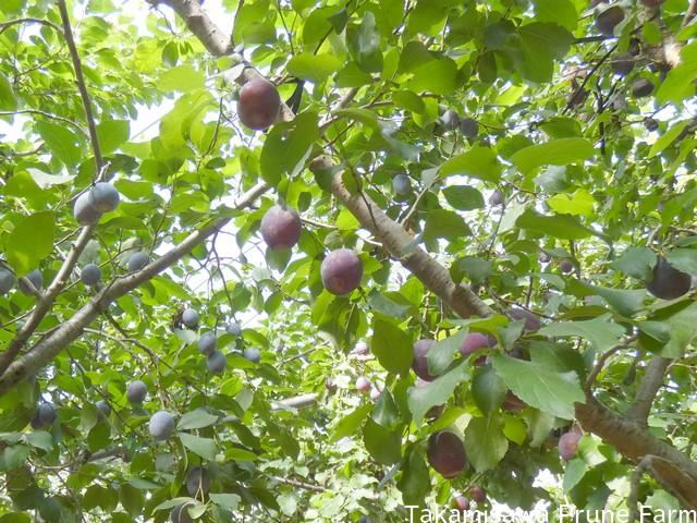 高見澤プルーン園プルーンの木