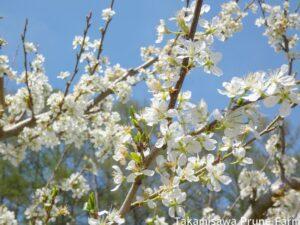 高見澤プルーン園満開のプルーンの花4