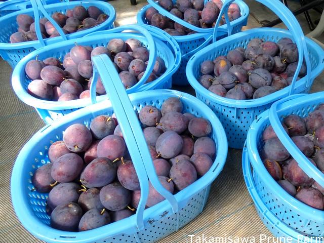 高見澤プルーン園プルーン収穫2