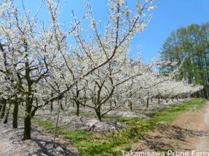 高見澤プルーン園満開のプルーンの木