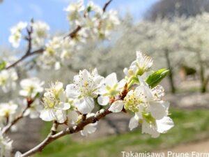 高見澤プルーン園プルーンの花2