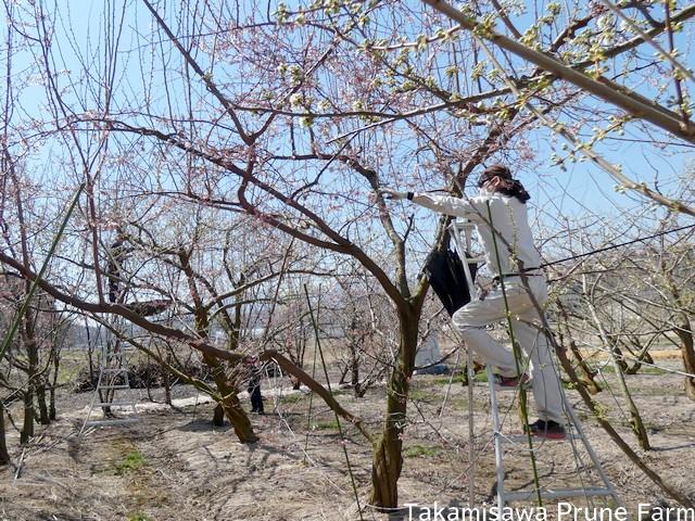 高見澤プルーン園スモモ花粉採取