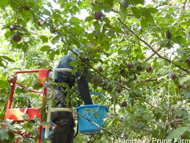 高見澤プルーン園プルーン収穫