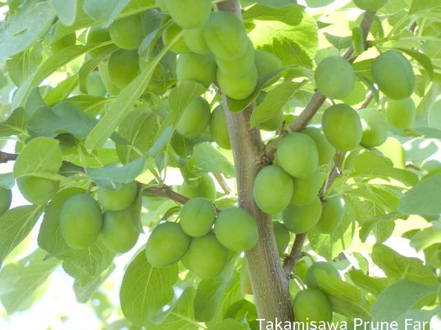 高見澤プルーン園青い実