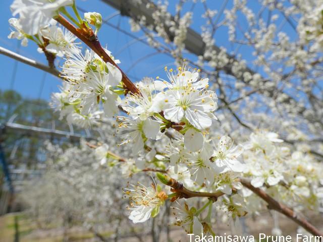 高見澤プルーン園満開のプルーンの花6