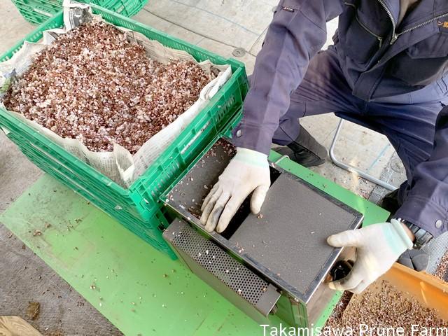 高見澤プルーン園スモモ葯採取