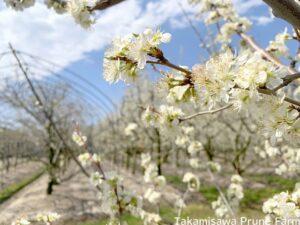 高見澤プルーン園プルーンの花