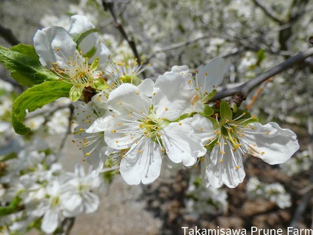 高見澤プルーン園満開のプルーンの花5