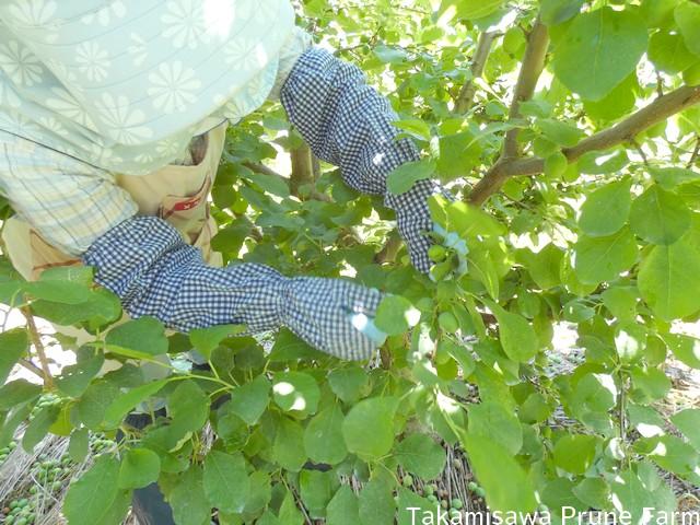 高見澤プルーン園摘果作業
