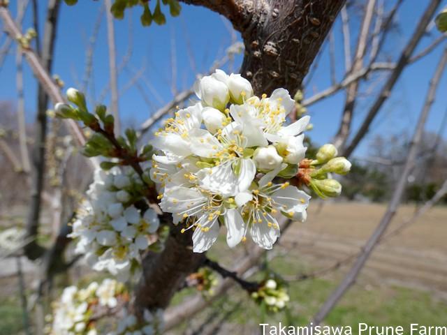 高見澤プルーン園スモモの花ハリウッド